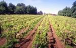 Chiltern Valley Vineyard